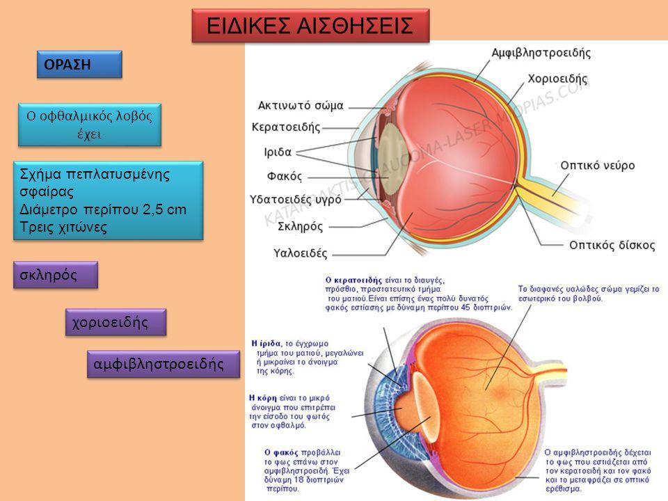 ΕΙΔΙΚΕΣ ΑΙΣΘΗΣΕΙΣ ΟΡΑΣΗ Ο οφθαλμικός λοβός έχει Σχήμα πεπλατυσμένης σφαίρας Διάμετρο περίπου 2,5 cm Τρεις χιτώνες Σχήμα πεπλατυσμένης σφαίρας Διάμετρο