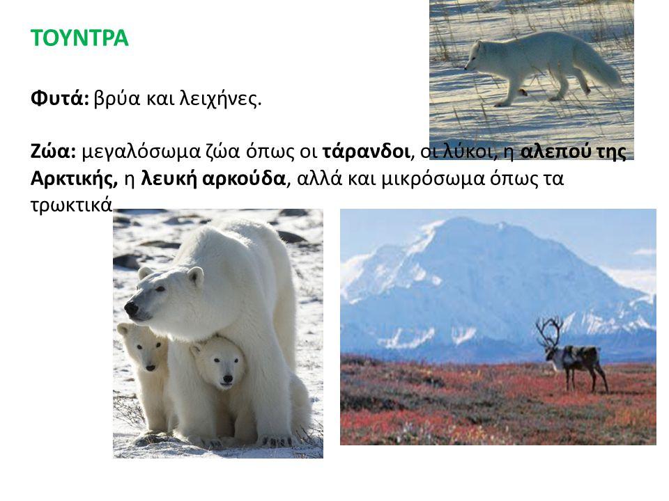ΤΟΥΝΤΡΑ Φυτά: βρύα και λειχήνες. Ζώα: μεγαλόσωμα ζώα όπως οι τάρανδοι, οι λύκοι, η αλεπού της Αρκτικής, η λευκή αρκούδα, αλλά και μικρόσωμα όπως τα τρ