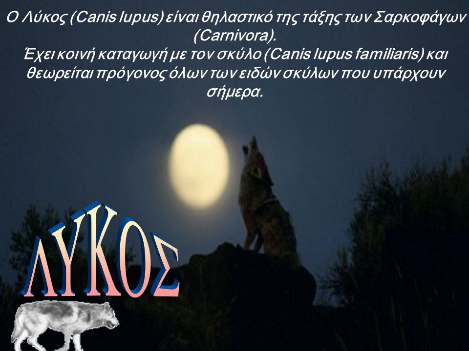 Ο Λύκος (Canis lupus) είναι θηλαστικό της τάξης των Σαρκοφάγων (Carnivora).