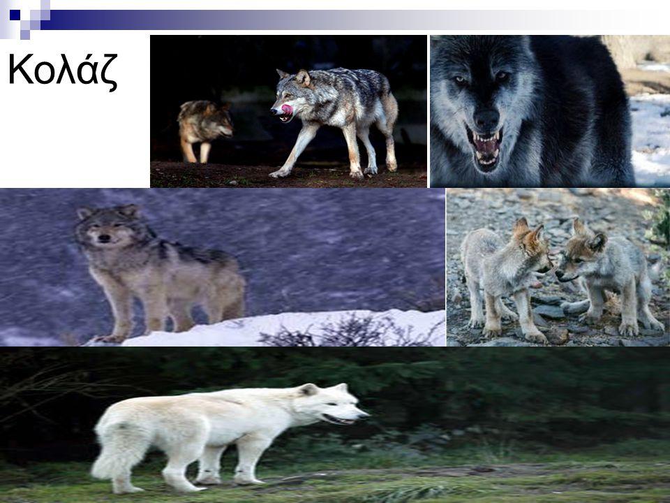 Το παράνομο κυνήγι και η λαθροθηρία εξαφάνισε σε κάποιες περιοχές τα θηράματα των λύκων και έτσι κάποιες αγέλες αναγκάζονται να αναζητήσουν τη τροφή τ