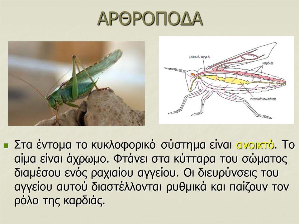 ΑΡΘΡΟΠΟΔΑ Στα έντομα το κυκλοφορικό σύστημα είναι ανοικτό. Το αίμα είναι άχρωμο. Φτάνει στα κύτταρα του σώματος διαμέσου ενός ραχιαίου αγγείου. Οι διε