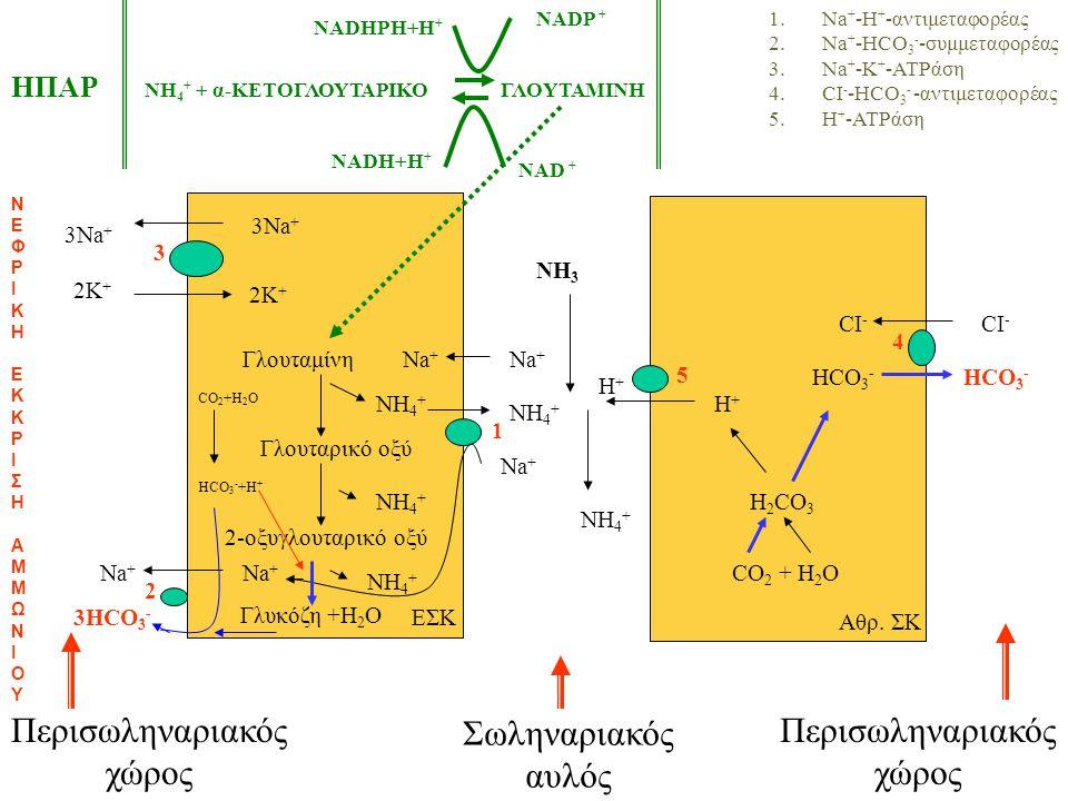 Σωληναριακός αυλός Περισωληναριακός χώρος Περισωληναριακός χώρος Γλουταμίνη Γλουταρικό οξύ 2-οξυγλουταρικό οξύ ΝH4+ΝH4+ ΝH4+ΝH4+ ΝH4+ΝH4+ Na + 1 1.Na + -H + -αντιμεταφορέας 2.Na + -HCO 3 - -συμμεταφορέας 3.Na + -K + -ATPάση 4.CI - -HCO 3 - -αντιμεταφορέας 5.H + -ATPάση 3HCO 3 - 3Na + 2K + 3 2 Na + ΕΣΚ Αθρ.