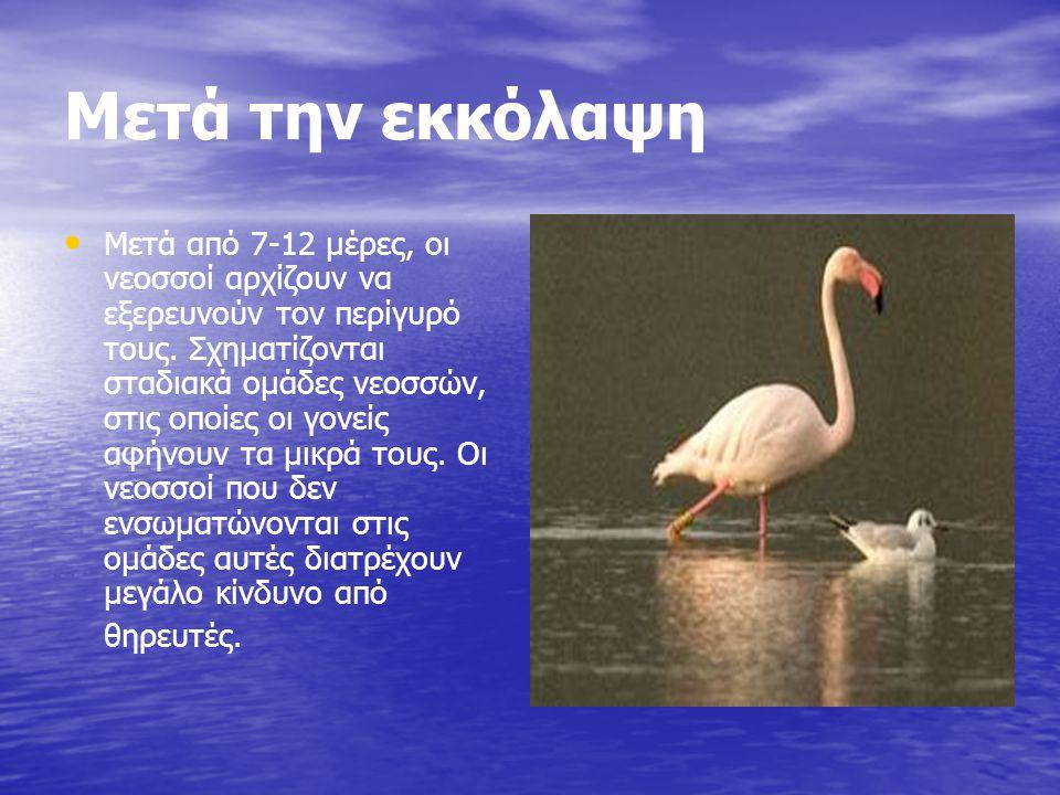 Από πού προέρχεται το Χρώμα του Το ροζ χρώμα του προέρχεται από καροτινοειδή χρωστικές ουσίες που βρίσκονται στην τροφή του.