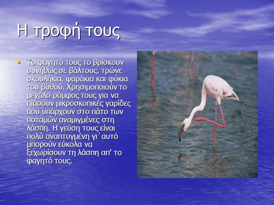 Εμφάνιση Τα φλαμίνγκο είναι πολύ εντυπωσιακά, ντελικάτα πουλιά, με ψηλή και λεπτοκαμωμένη κορμοστασιά του φτάνει τα 127 εκατοστά.