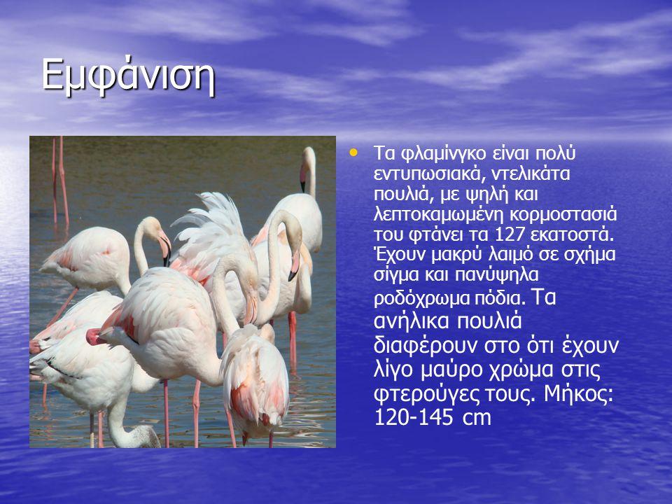 Εμφάνιση Τα φλαμίνγκο είναι πολύ εντυπωσιακά, ντελικάτα πουλιά, με ψηλή και λεπτοκαμωμένη κορμοστασιά του φτάνει τα 127 εκατοστά. Έχουν μακρύ λαιμό σε
