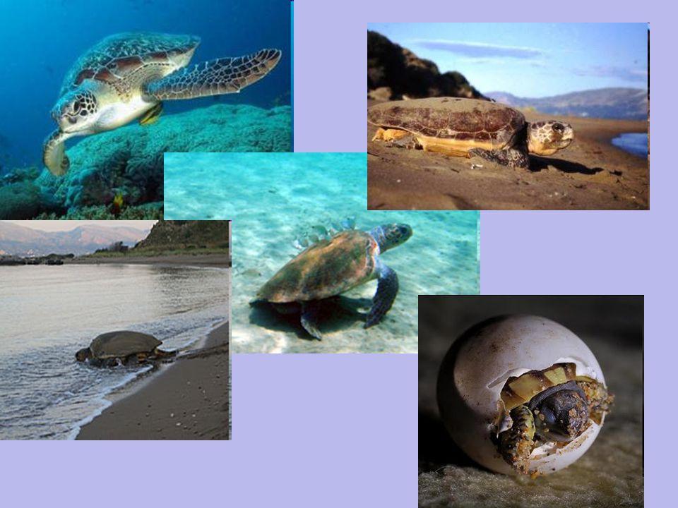 Οι δραστηριότητες του Συλλόγου ΑΡΧΕΛΩΝ περιλαμβάνουν καταγραφή της αναπαραγωγικής δραστηριότητας και προστασία των φωλιών της.