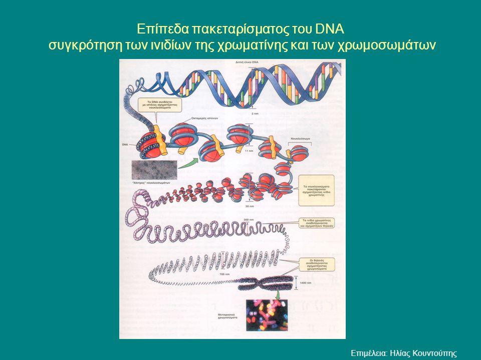 Ινίδιο χρωματίνης Μεταφασικό χρωμόσωμα Επίπεδα πακεταρίσματος του DNA συγκρότηση των ινιδίων της χρωματίνης και των χρωμοσωμάτων Campbell (2 e éd.— Figure 19.1 : 385) 2nm 11nm 30nm 300nm 700nm 1400nm Τμήμα χρωμοσώματος στην αρχή της πρόφασης