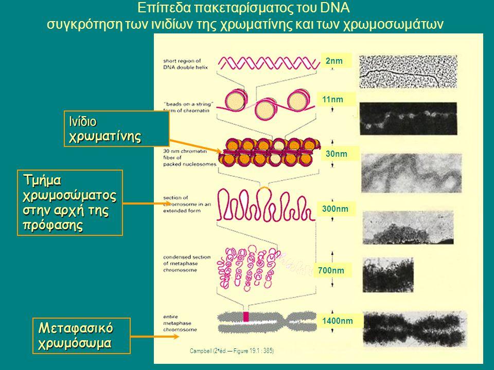 Ινίδιο χρωματίνης Μεταφασικό χρωμόσωμα Επίπεδα πακεταρίσματος του DNA συγκρότηση των ινιδίων της χρωματίνης και των χρωμοσωμάτων Campbell (2 e éd.— Fi