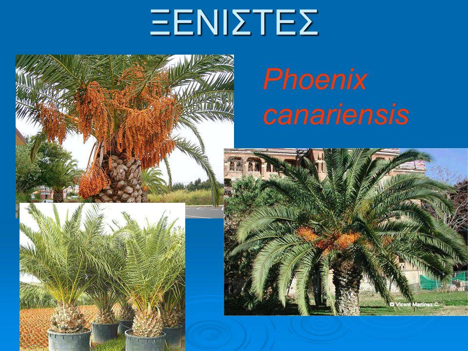 ΞΕΝΙΣΤΕΣ Phoenix dactylifera (χουρμαδιά)