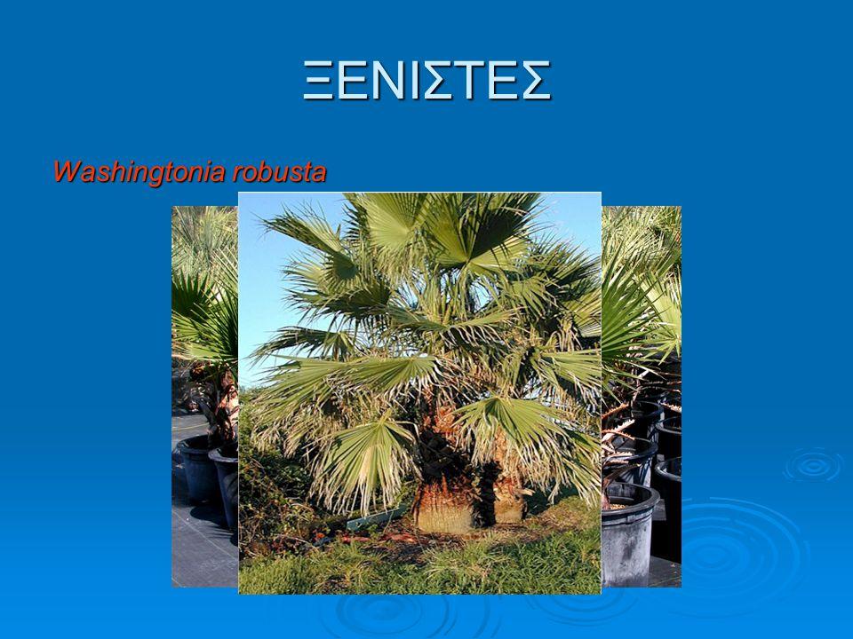  Χημική καταπολέμηση Η χημική καταπολέμηση περιλαμβάνει προληπτικές επεμβάσεις με εντομοκτόνα (μετά το κλάδεμα) και θεραπευτικές επεμβάσεις στα προσβεβλημένα δέντρα.
