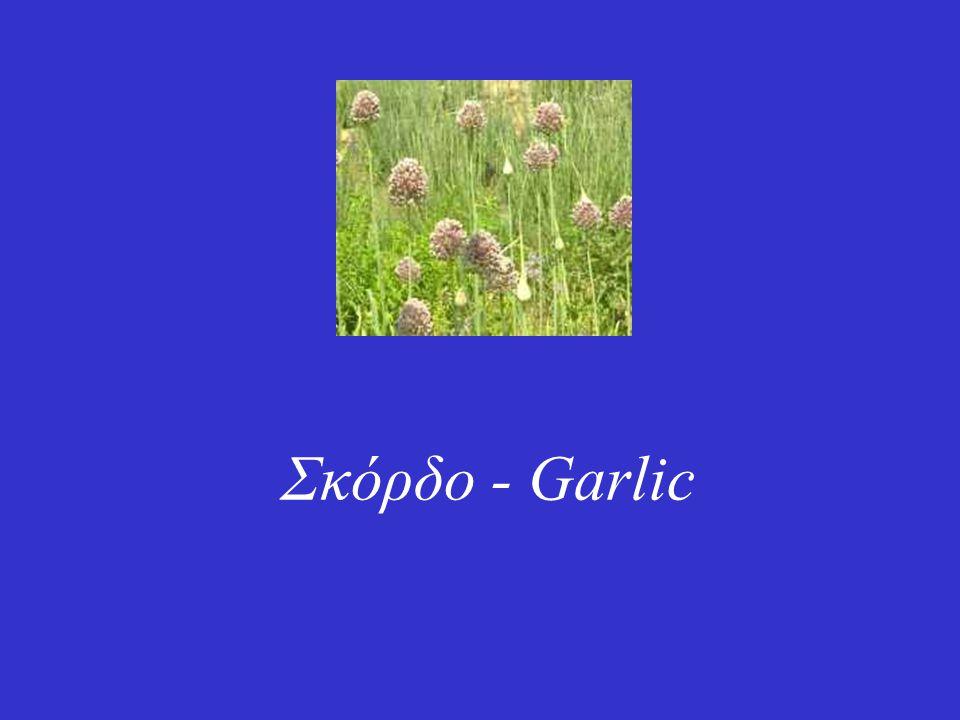 Σκόρδο - Garlic