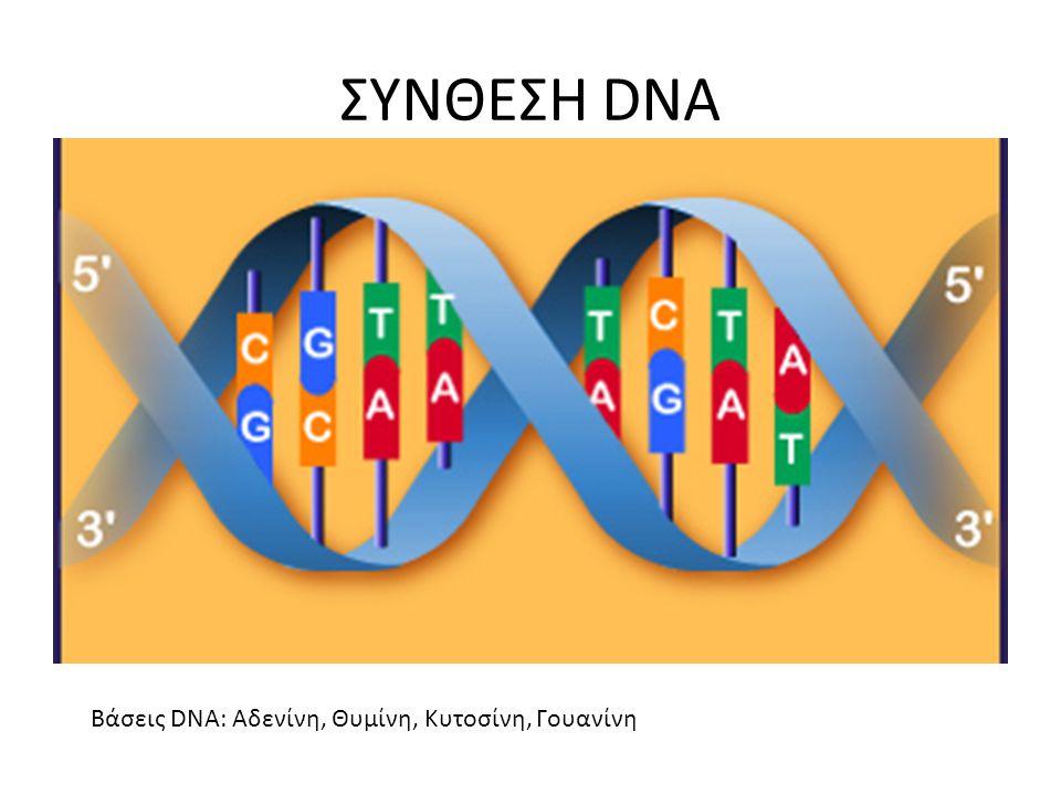 ΣΥΝΘΕΣΗ DNA Βάσεις DNA: Αδενίνη, Θυμίνη, Κυτοσίνη, Γουανίνη