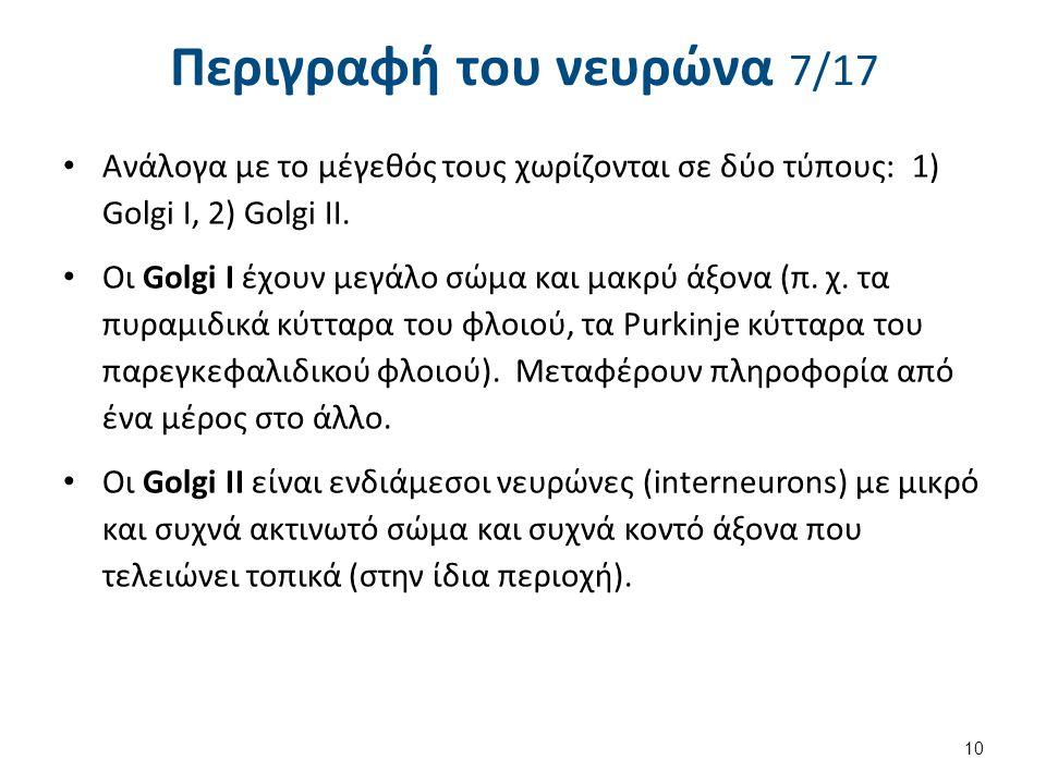 Περιγραφή του νευρώνα 7/17 Ανάλογα με το μέγεθός τους χωρίζονται σε δύο τύπους: 1) Golgi I, 2) Golgi II. Οι Golgi I έχουν μεγάλο σώμα και μακρύ άξονα