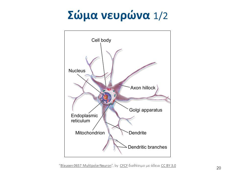 """Σώμα νευρώνα 1/2 """"Blausen 0657 MultipolarNeuron"""", by CFCF διαθέσιμο με άδεια CC BY 3.0Blausen 0657 MultipolarNeuronCFCFCC BY 3.0 20"""