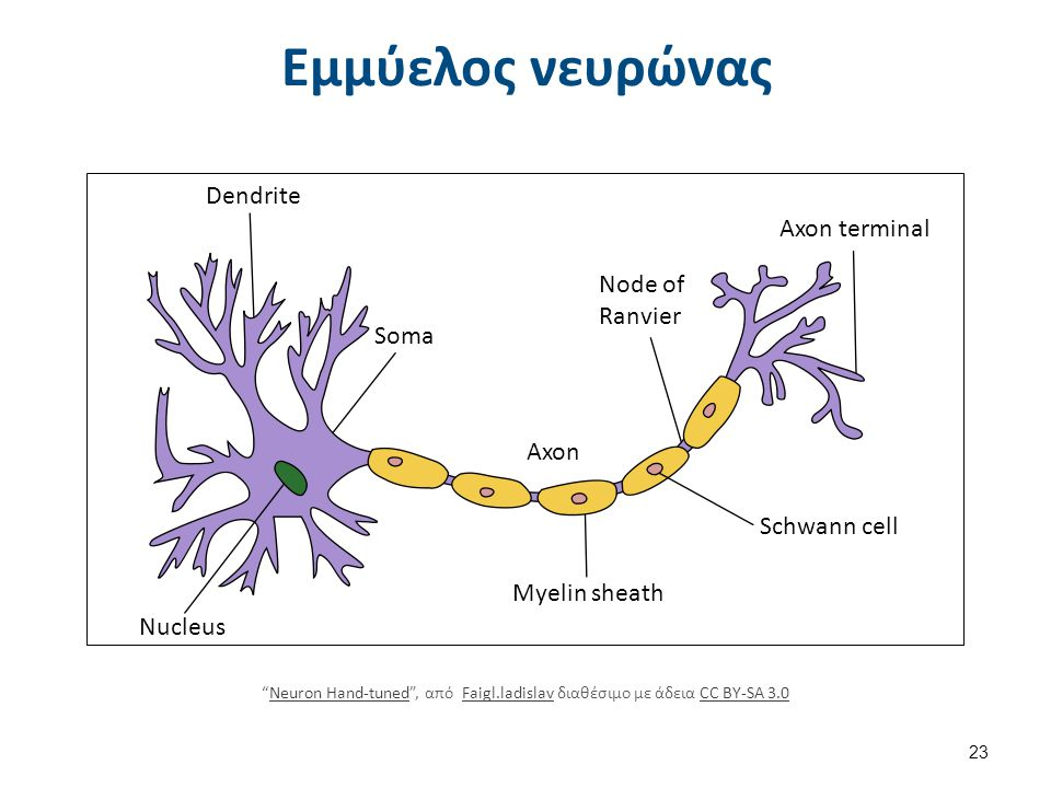 "Εμμύελος νευρώνας Dendrite Nucleus Soma Axon Myelin sheath Node of Ranvier Axon terminal Schwann cell ""Neuron Hand-tuned"", από Faigl.ladislav διαθέσιμ"