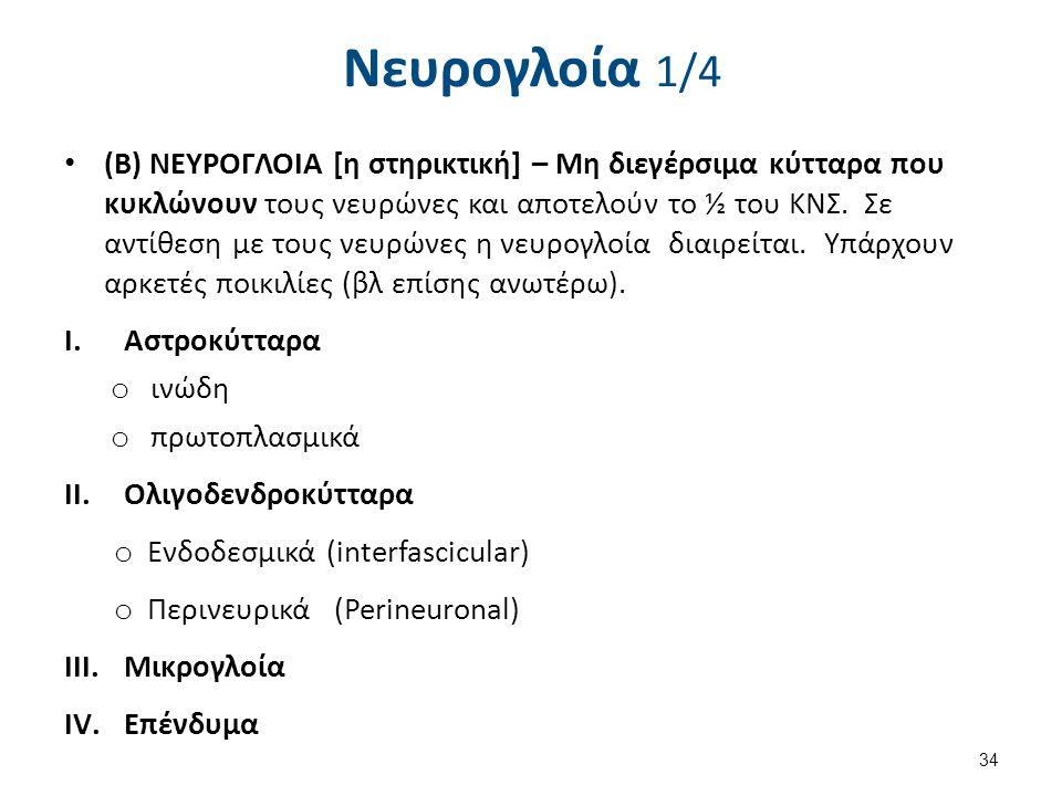 Νευρογλοία 1/4 (B) NEYΡΟΓΛΟΙΑ [η στηρικτική] – Μη διεγέρσιμα κύτταρα που κυκλώνουν τους νευρώνες και αποτελούν το ½ του ΚΝΣ. Σε αντίθεση με τους νευρώ