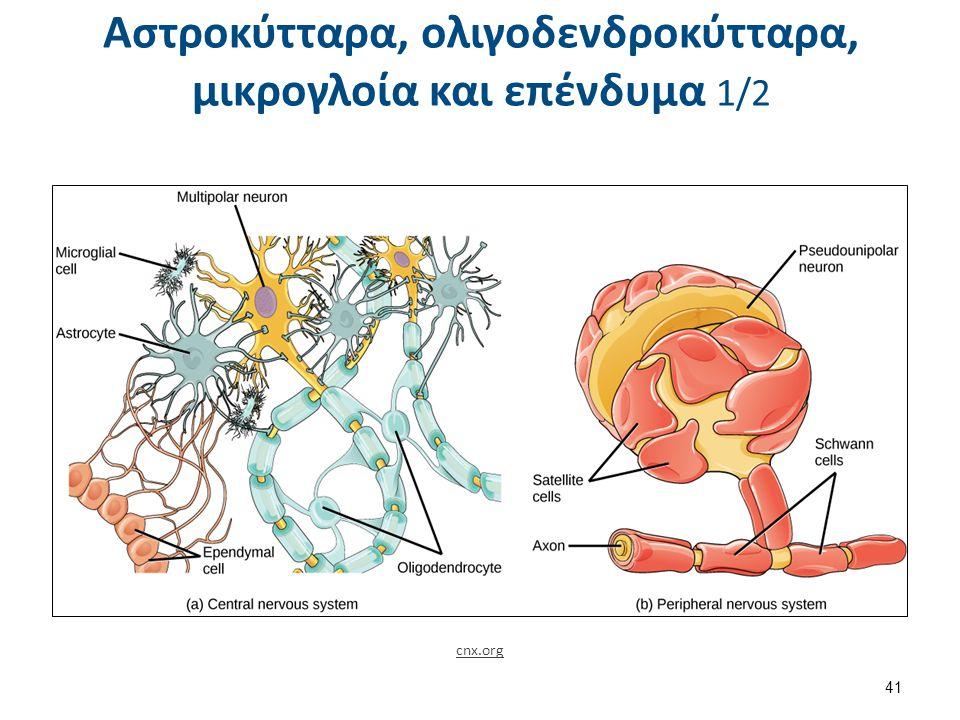 Αστροκύτταρα, ολιγοδενδροκύτταρα, μικρογλοία και επένδυμα 1/2 cnx.org 41