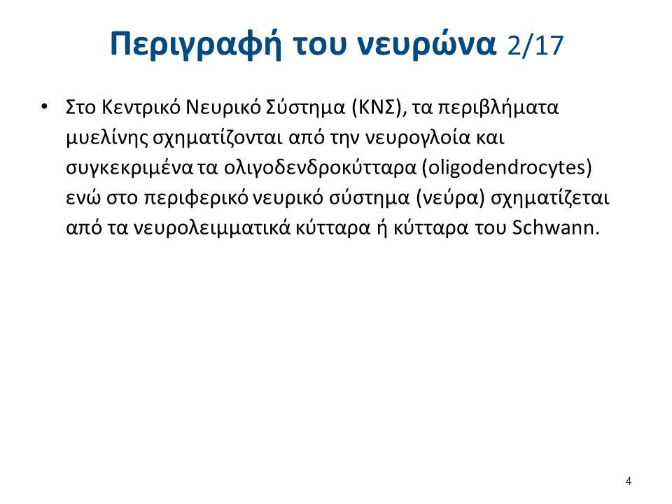 Περιγραφή του νευρώνα 17/17 4.Ανάλογα της νευρομεταβιβαστικής ουσίας.
