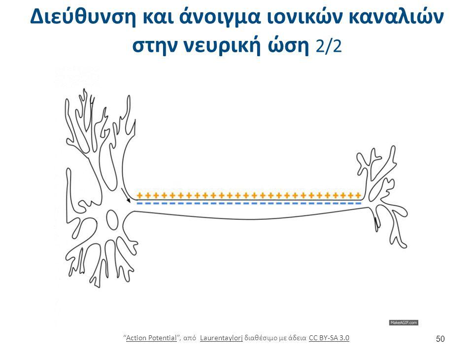 """Διεύθυνση και άνοιγμα ιονικών καναλιών στην νευρική ώση 2/2 """"Action Potential"""", από Laurentaylorj διαθέσιμο με άδεια CC BY-SA 3.0Action PotentialLaure"""
