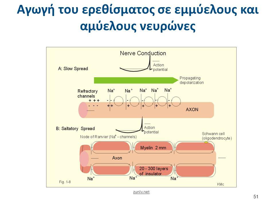 Αγωγή του ερεθίσματος σε εμμύελους και αμύελους νευρώνες zuniv.net 51