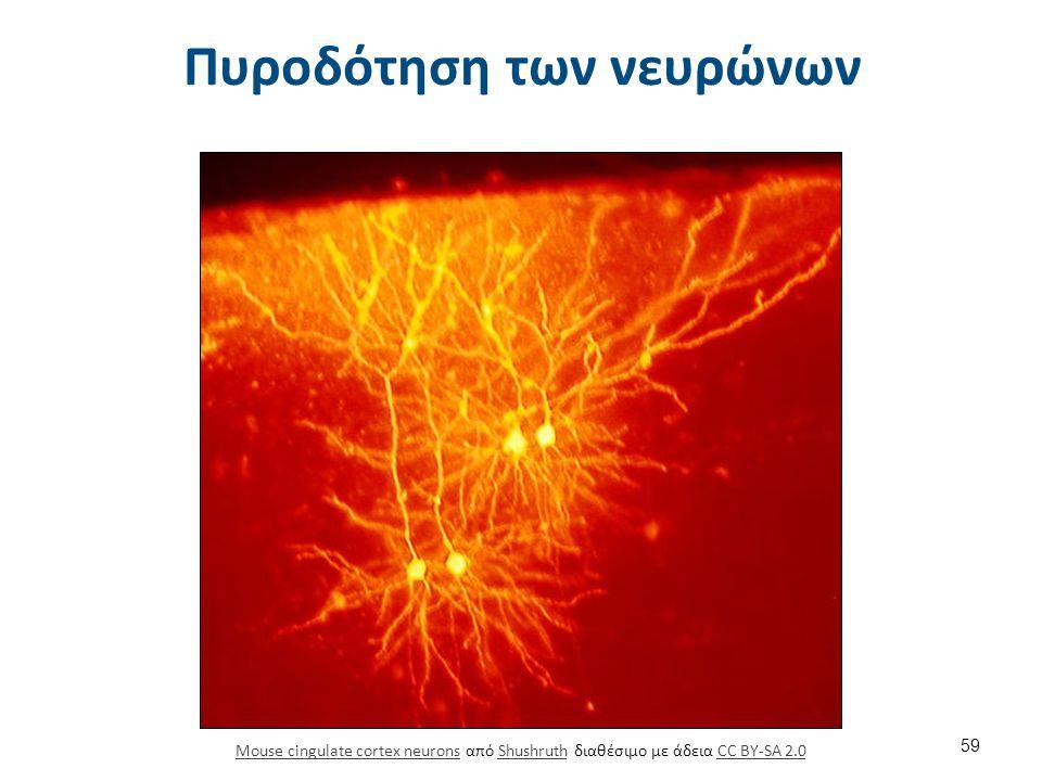 Πυροδότηση των νευρώνων Mouse cingulate cortex neuronsMouse cingulate cortex neurons από Shushruth διαθέσιμο με άδεια CC BY-SA 2.0ShushruthCC BY-SA 2.
