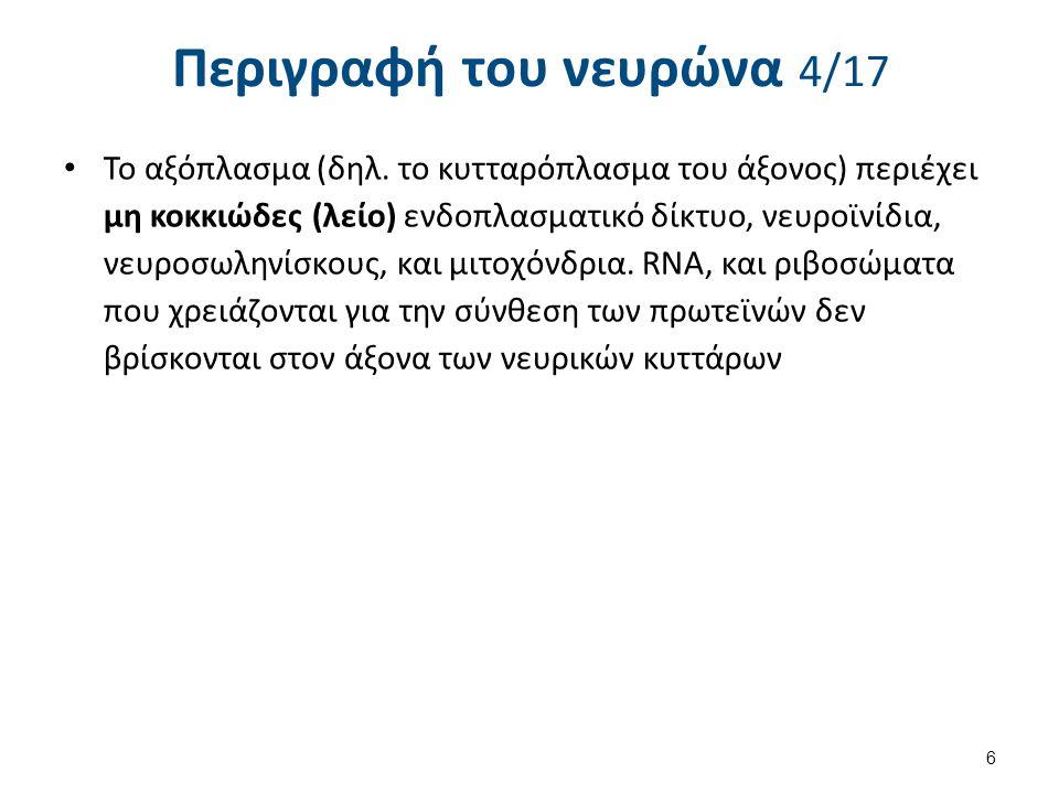 Περιγραφή του νευρώνα 4/17 Το αξόπλασμα (δηλ. το κυτταρόπλασμα του άξονος) περιέχει μη κοκκιώδες (λείο) ενδοπλασματικό δίκτυο, νευροϊνίδια, νευροσωλην