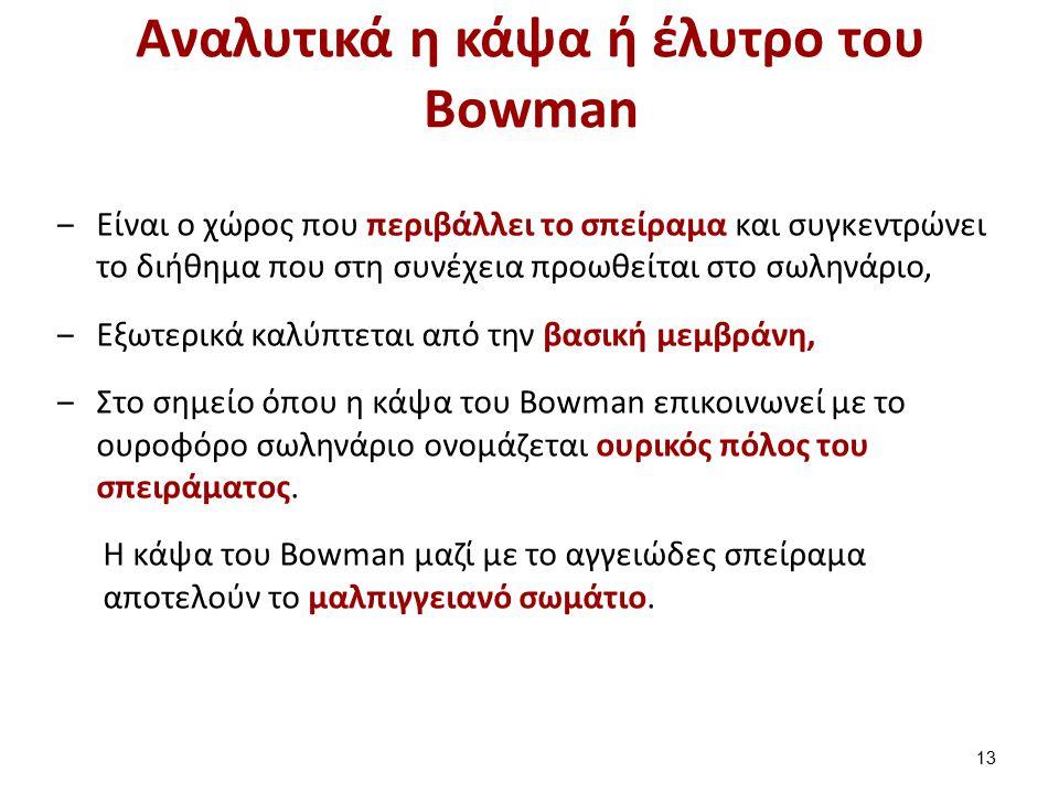 Αναλυτικά η κάψα ή έλυτρο του Bowman ‒Είναι ο χώρος που περιβάλλει το σπείραμα και συγκεντρώνει το διήθημα που στη συνέχεια προωθείται στο σωληνάριο, ‒Εξωτερικά καλύπτεται από την βασική μεμβράνη, ‒Στο σημείο όπου η κάψα του Bowman επικοινωνεί με το ουροφόρο σωληνάριο ονομάζεται ουρικός πόλος του σπειράματος.