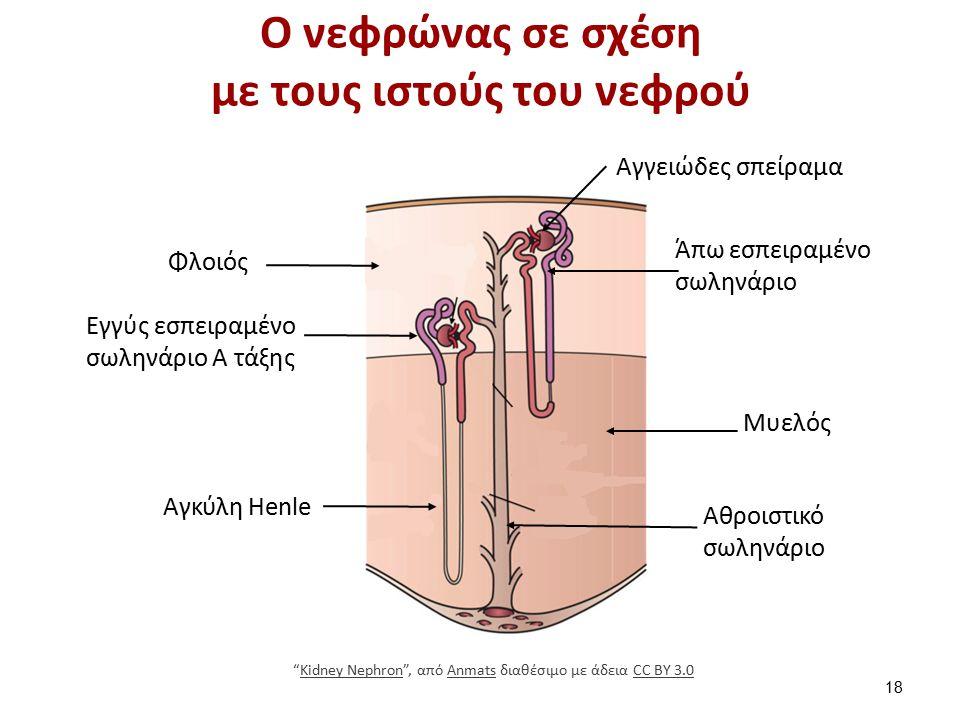 Ο νεφρώνας σε σχέση με τους ιστούς του νεφρού 18 Αγγειώδες σπείραμα Άπω εσπειραμένο σωληνάριο Μυελός Εγγύς εσπειραμένο σωληνάριο Α τάξης Φλοιός Αγκύλη