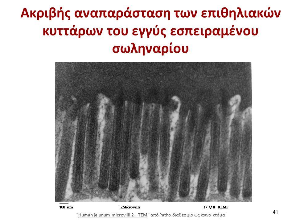 Ακριβής αναπαράσταση των επιθηλιακών κυττάρων του εγγύς εσπειραμένου σωληναρίου 41 Human jejunum microvilli 2 – TEM από Patho διαθέσιμο ως κοινό κτήμαHuman jejunum microvilli 2 – TEM