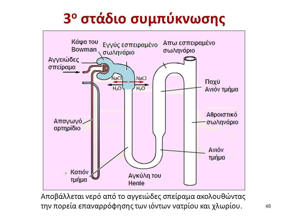 3 ο στάδιο συμπύκνωσης Αποβάλλεται νερό από το αγγειώδες σπείραμα ακολουθώντας την πορεία επαναρρόφησης των ιόντων νατρίου και χλωρίου.