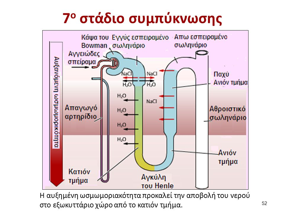 7 ο στάδιο συμπύκνωσης Η αυξημένη ωσμωμοριακότητα προκαλεί την αποβολή του νερού στο εξωκυττάριο χώρο από το κατιόν τμήμα. 52