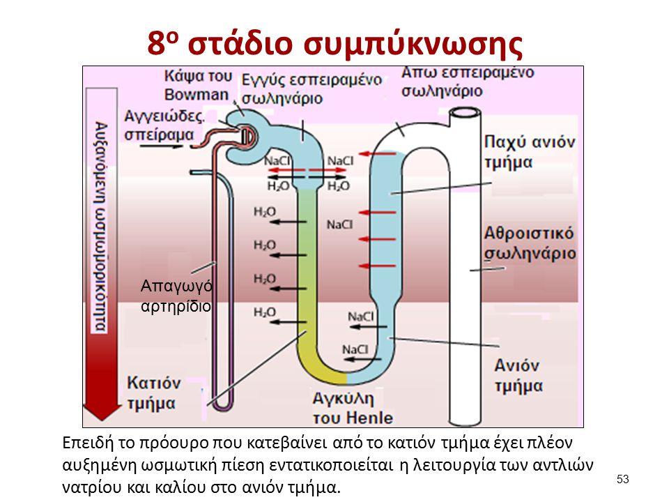8 ο στάδιο συμπύκνωσης Επειδή το πρόουρο που κατεβαίνει από το κατιόν τμήμα έχει πλέον αυξημένη ωσμωτική πίεση εντατικοποιείται η λειτουργία των αντλιών νατρίου και καλίου στο ανιόν τμήμα.