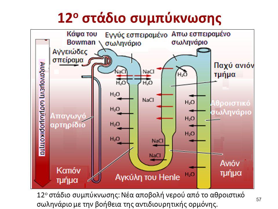 12 ο στάδιο συμπύκνωσης 12 ο στάδιο συμπύκνωσης: Νέα αποβολή νερού από το αθροιστικό σωληνάριο με την βοήθεια της αντιδιουρητικής ορμόνης. 57