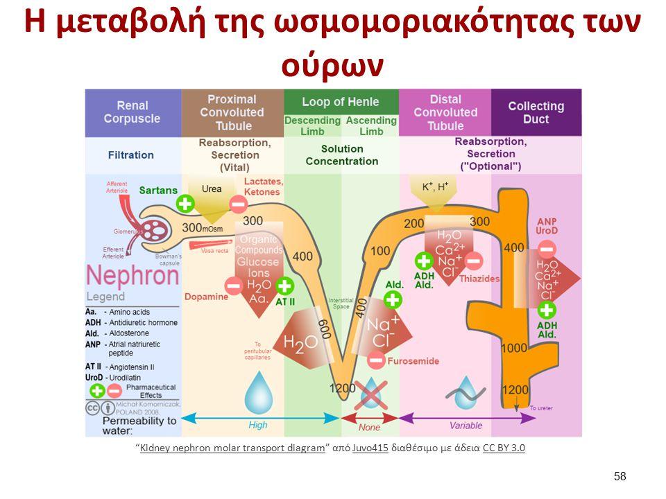 """Η μεταβολή της ωσμομοριακότητας των ούρων 58 """"Kidney nephron molar transport diagram"""" από Juvo415 διαθέσιμο με άδεια CC BY 3.0Kidney nephron molar tra"""