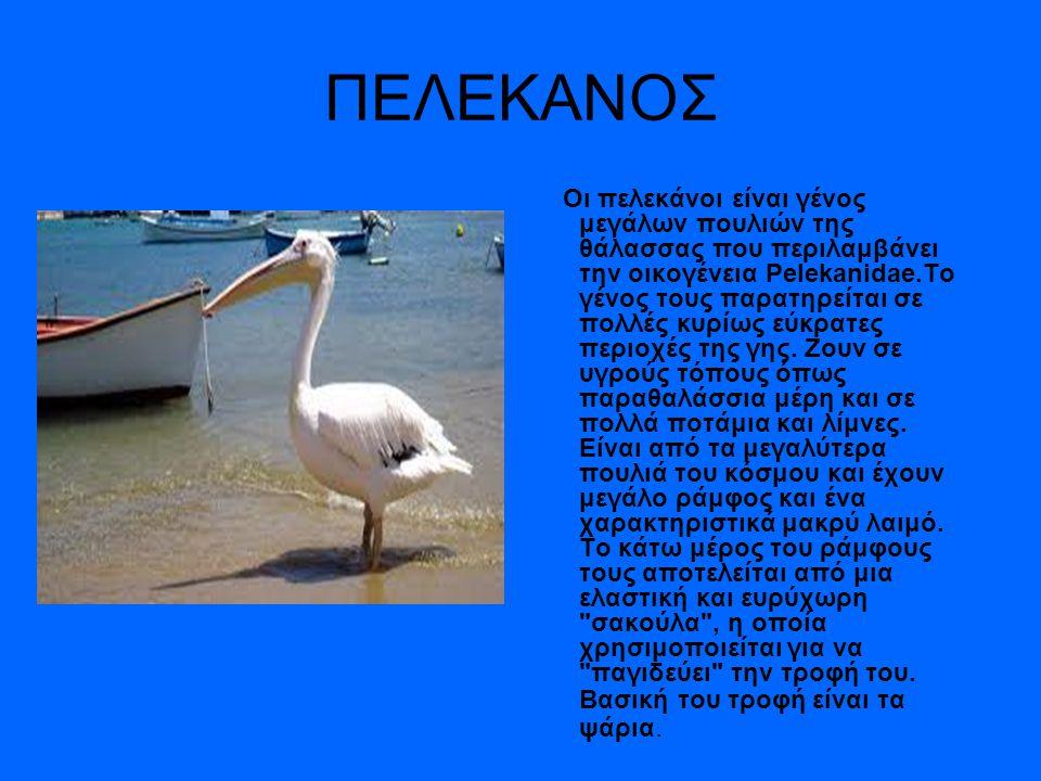 ΠΕΛΕΚΑΝΟΣ Οι πελεκάνοι είναι γένος μεγάλων πουλιών της θάλασσας που περιλαμβάνει την οικογένεια Pelekanidae.Το γένος τους παρατηρείται σε πολλές κυρίως εύκρατες περιοχές της γης.