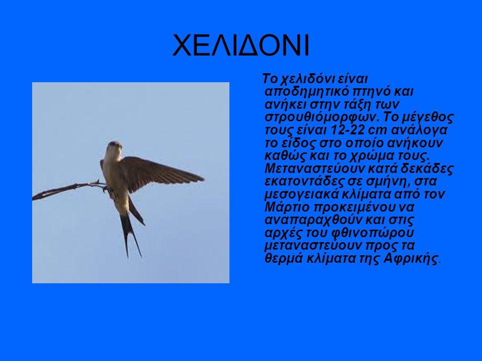ΧΕΛΙΔΟΝΙ Το χελιδόνι είναι αποδημητικό πτηνό και ανήκει στην τάξη των στρουθιόμορφων. Το μέγεθος τους είναι 12-22 cm ανάλογα το είδος στο οποίο ανήκου