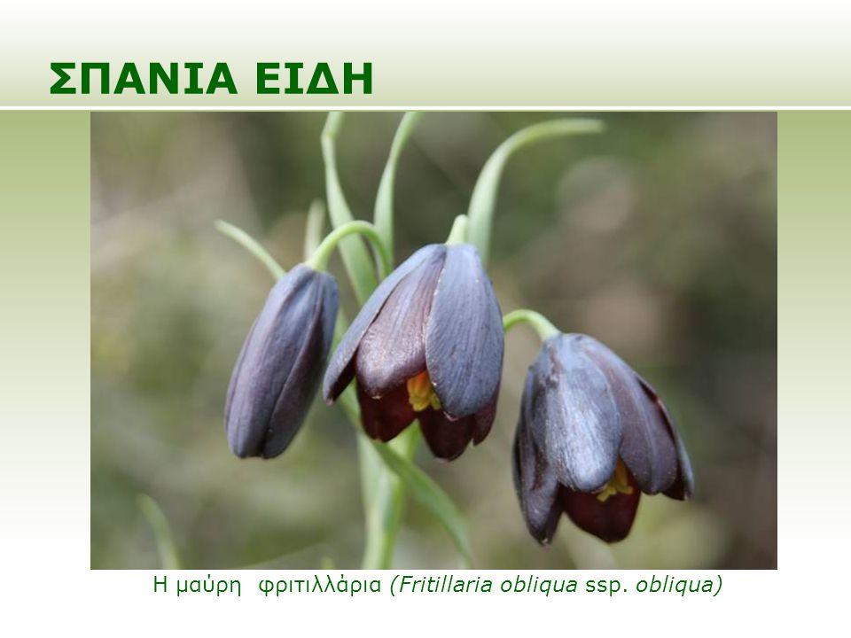 ΣΠΑΝΙΑ ΕΙΔΗ Η μαύρη φριτιλλάρια (Fritillaria obliqua ssp. obliqua)