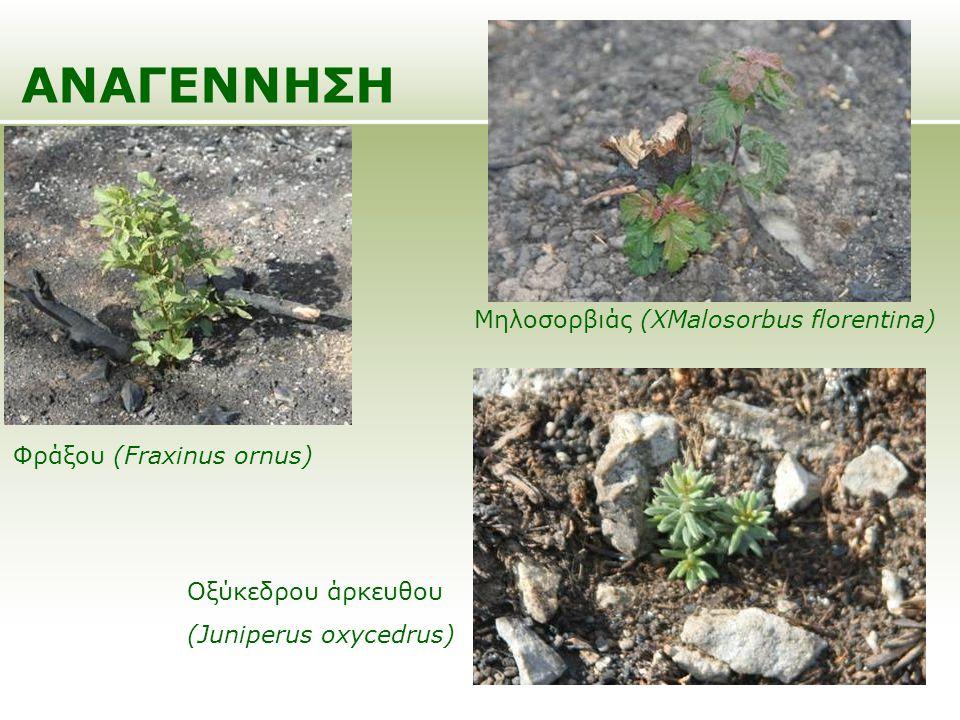 ΑΝΑΓΕΝΝΗΣΗ Φράξου (Fraxinus ornus) Μηλοσορβιάς (XMalosorbus florentina) Οξύκεδρου άρκευθου (Juniperus oxycedrus)