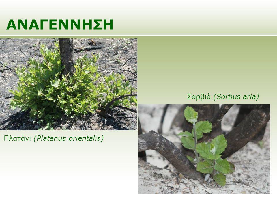 ΑΝΑΓΕΝΝΗΣΗ Πλατάνι (Platanus orientalis) Σορβιά (Sorbus aria)