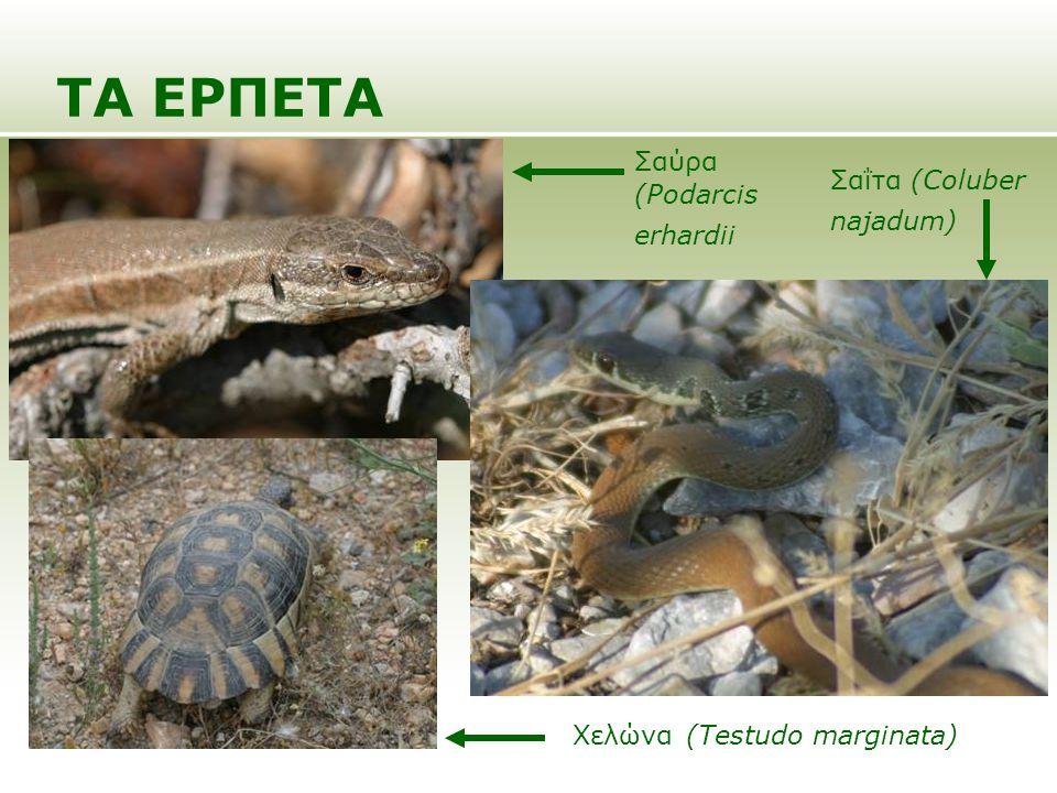 ΤΑ ΕΡΠΕΤΑ Σαύρα (Podarcis erhardii Σαΐτα (Coluber najadum) Χελώνα (Testudo marginata)