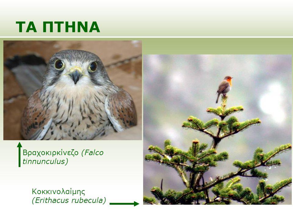 ΤΑ ΠΤΗΝΑ Βραχοκιρκίνεζο (Falco tinnunculus) Κοκκινολαίμης (Erithacus rubecula)