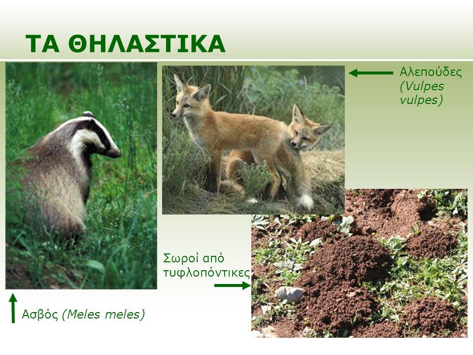 ΤΑ ΘΗΛΑΣΤΙΚΑ Ασβός (Meles meles) Σωροί από τυφλοπόντικες Αλεπούδες (Vulpes vulpes)