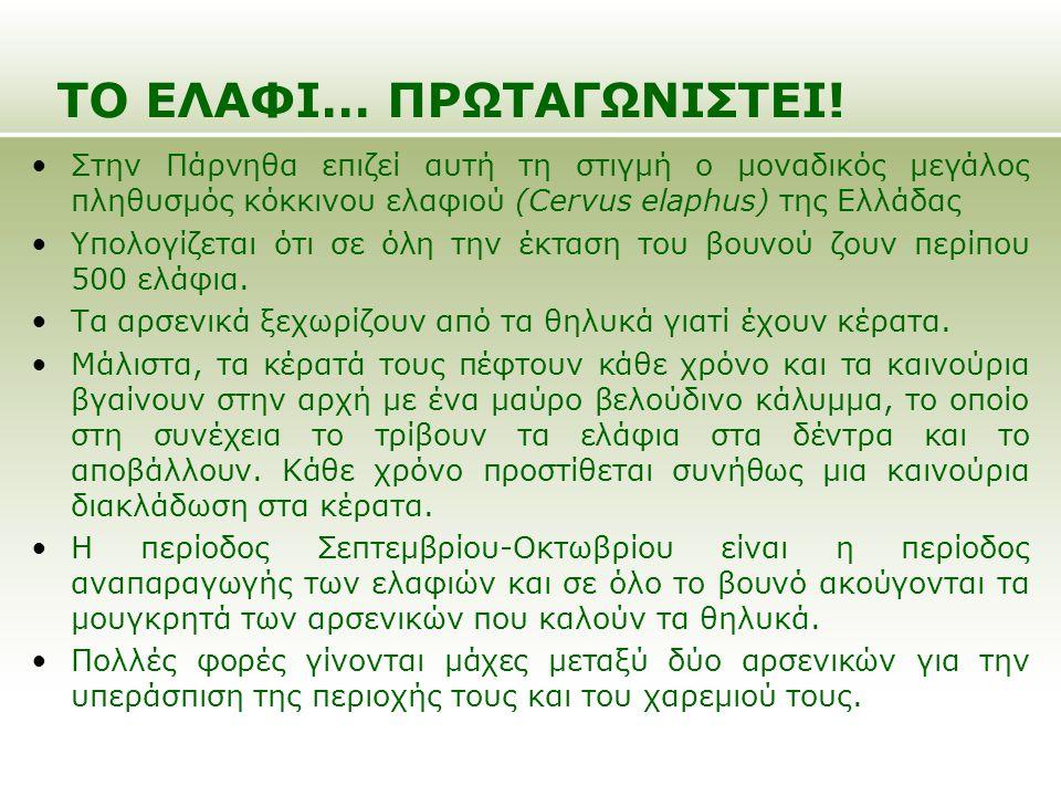Στην Πάρνηθα επιζεί αυτή τη στιγμή ο μοναδικός μεγάλος πληθυσμός κόκκινου ελαφιού (Cervus elaphus) της Ελλάδας Υπολογίζεται ότι σε όλη την έκταση του