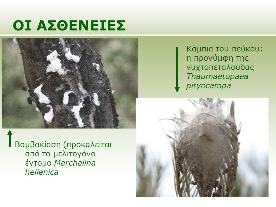 ΟΙ ΑΣΘΕΝΕΙΕΣ Βαμβακίαση (προκαλείται από το μελιτογόνο έντομο Marchalina hellenica Κάμπια του πεύκου: η προνύμφη της νυχτοπεταλούδας Thaumaetopaea pit