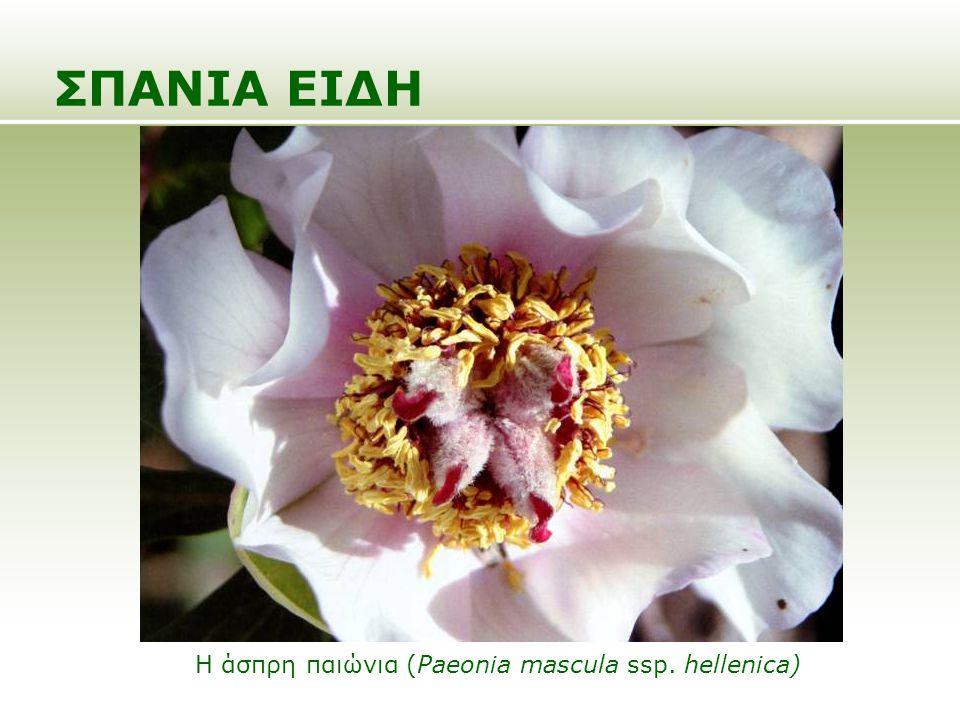 ΣΠΑΝΙΑ ΕΙΔΗ Ο κόκκινος κρίνος (Lilium chalcedonicum)