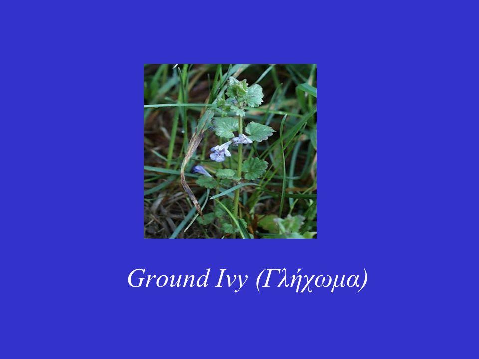 Είναι ένα μικρό φυτό με μοβ-μπλε άνθη που δεν ξεπερνά σε ύψος τα 30 εκατοστά.