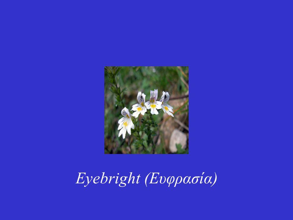 Eyebright (Ευφρασία)