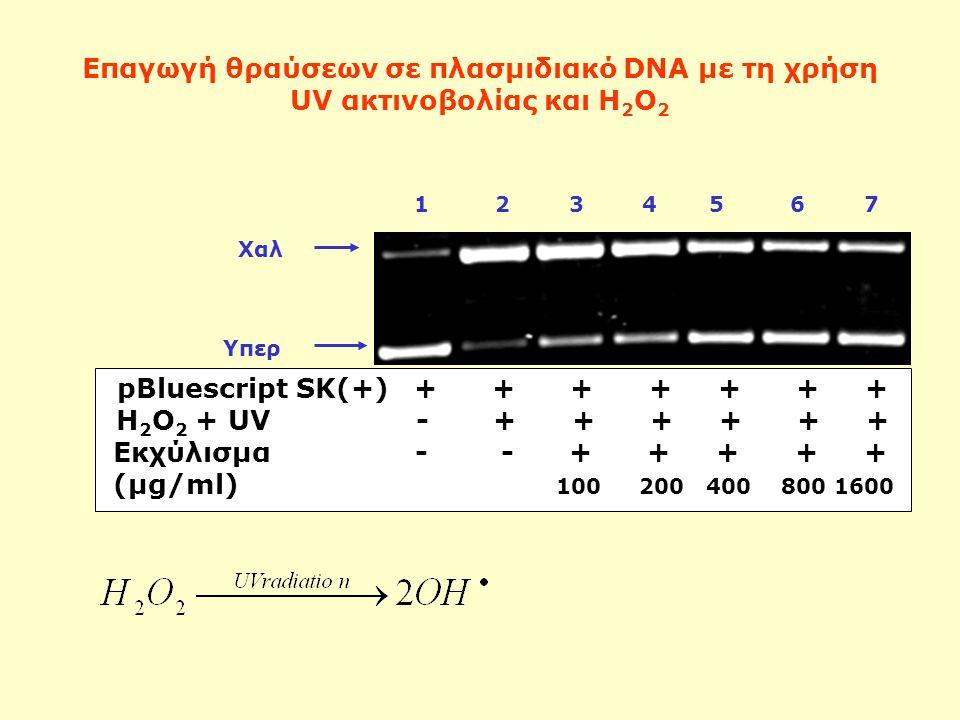 Επαγωγή θραύσεων σε πλασμιδιακό DNA με τη χρήση UV ακτινοβολίας και Η 2 Ο 2 Χαλ 1 2 3 4 5 6 7 Υπερ pBluescript SK(+) + + + + + + + H 2 O 2 + UV - + + + + + + Εκχύλισμα - - + + + + + (μg/ml) 100 200 400 800 1600