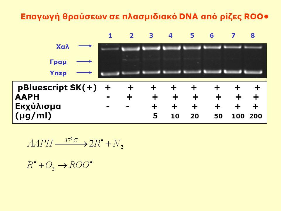Χαλ 1 2 3 4 5 6 7 8 Υπερ pBluescript SK(+) + + + + + + + + AAPH - + + + + + + + Εκχύλισμα - - + + + + + + (μg/ml) 5 10 20 50 100 200 Επαγωγή θραύσεων σε πλασμιδιακό DNA από ρίζες ROO Γραμ