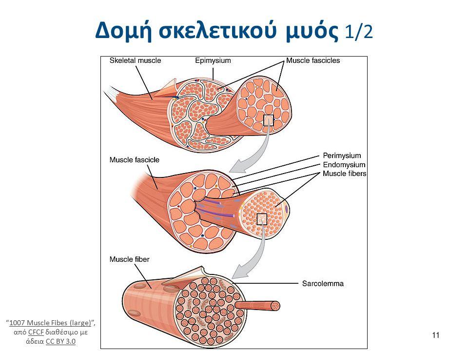 """Δομή σκελετικού μυός 1/2 11 """"1007 Muscle Fibes (large)"""", από CFCF διαθέσιμο με άδεια CC BY 3.01007 Muscle Fibes (large)CFCFCC BY 3.0"""